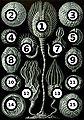 Haeckel Cystoidea big spots.jpg