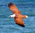 Haliastur indus -Karratha, Pilbara, Western Australia, Australia -flying-8 (9).jpg
