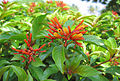 Hamelia patens Flower.jpg