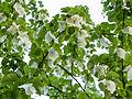 Handkerchief tree from below (14146923638).jpg