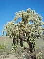 Hanging cholla, Saguaro National Park (Rincon Mountain District). (b4065910-c2b2-400e-a99c-9c1379ef3cb9).jpg