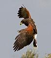 Harris Hawk 10c (6818239626).jpg