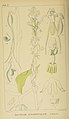 Harry Bolus - Orchids of South Africa - volume I plate 071 (1896).jpg