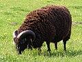 Hebridean ram.jpg