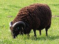 A Hebridean ram