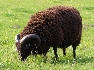 "Namesake of the idiom ""black sheep"" Hebridean ram.jpg"