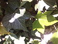 Hedera helix-leaves.jpg