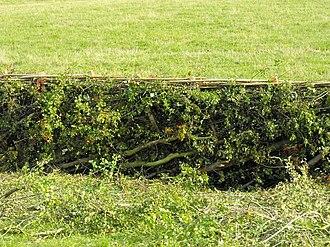 Pleaching - Hedge laid using pleaching