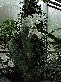 Hedychium coronarium1.jpg