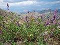 Hedysarum occidentale (28915806740).jpg