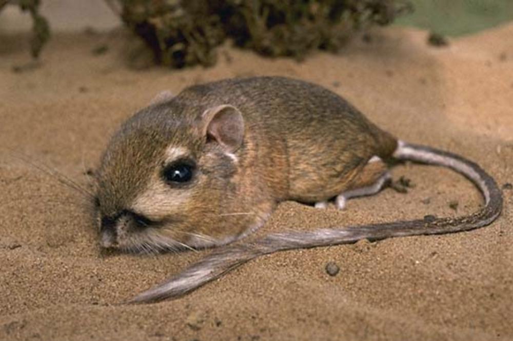 The average litter size of a Heermann's kangaroo rat is 3
