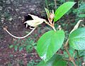Helicteres-Yucatán-Flowers.jpg