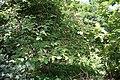 Helicteres isora (East Indian screw tree) W IMG 1252.jpg