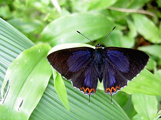 Lycaeninae subfamily of the gossamer-winged butterfly