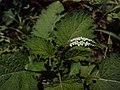 Heliotropium indicum 02a.JPG
