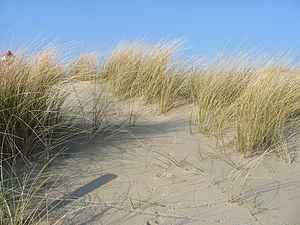 Ammophila (plant) - European marram grass  Dunes near The Hague, February