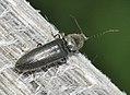 Hemicrepidius-niger-04-fws.jpg