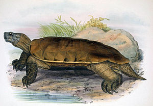 Arakan forest turtle - Illustration from 1878