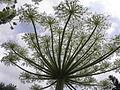 Heracleum mantegazzianum R.H. 18.jpg