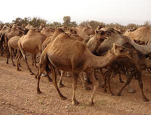 Stado dromaderów, Maroko