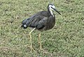 Heron comed twice daily to eat out of my hand-1 (24545403992).jpg