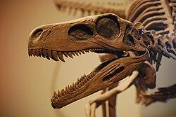 Herrerasaurus Skull FMNH.JPG