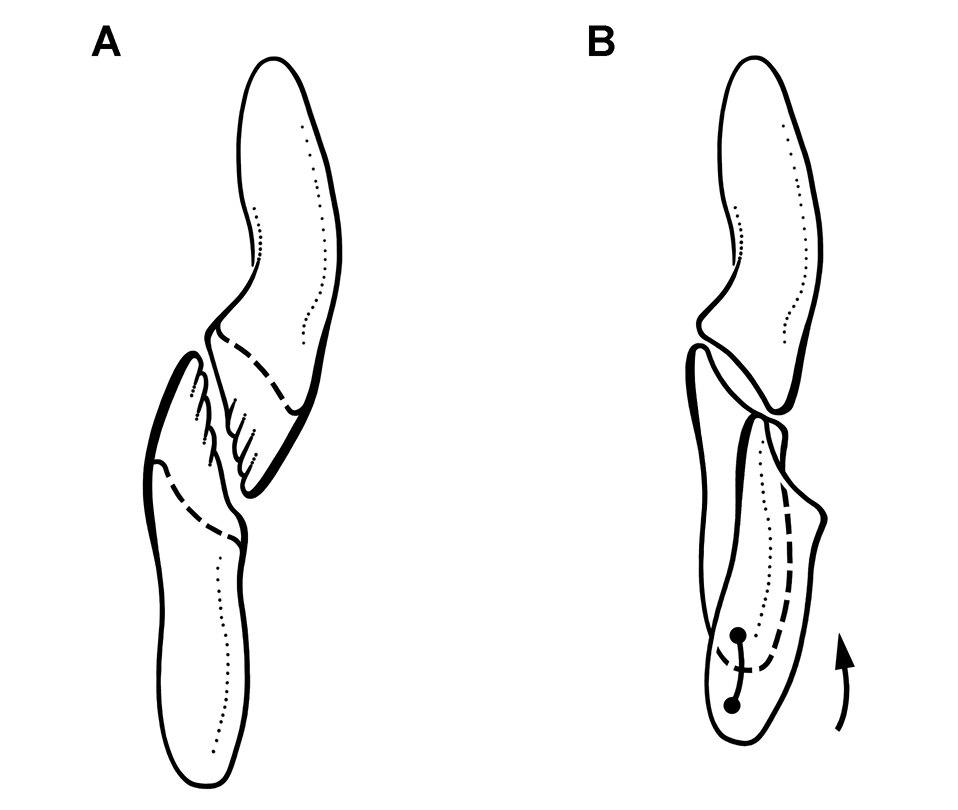 Heterodontosaurus tooth wear