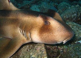 Crested bullhead shark - The high ridges above the eyes of the crested bullhead shark are its most distinctive feature.
