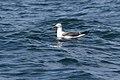 Heuglin's Gull (5040979561).jpg
