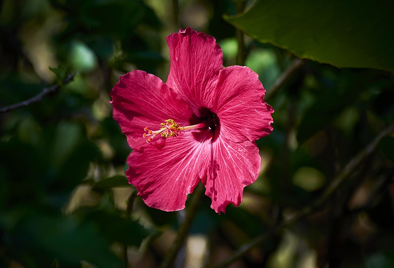File:Hibiscus de Guadeloupe 2.jpg