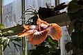 Hibiscus rosa-sinensis Fifth Dimension 6zz.jpg