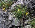Hieracium porrifolium 1.jpg