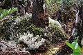 High altitude dwarfed mountain rainforest Elfin forest (8187813309).jpg