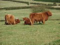 Highland Cattle At Crows Nest farm - geograph.org.uk - 1024780.jpg