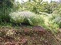 Hill Conehead (15401970395).jpg