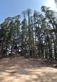 Hilltop Conifers - Naldehra 2014-05-08 1888-1890 Archive.TIF