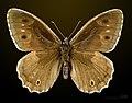 Hipparchia statilinus MHNT CUT 2013 3 31 Concots male dorsal.jpg