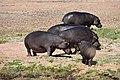 Hippo, Ruaha National Park (16) (28456889100).jpg