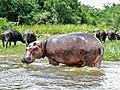 Hippo (Hippopotamus amphibius) (6922020464).jpg