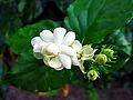 Hoa nhài ở Vĩnh Phúc.jpg