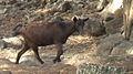 Hoapili Trail - feral goat.jpg