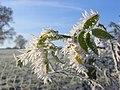 Hoar frost on wild rose leaves, Newbiggin - geograph.org.uk - 1074614.jpg