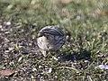Hoary Redpoll (individual 1), Oakfield, MI, February 4, 2012 (6818878051).jpg