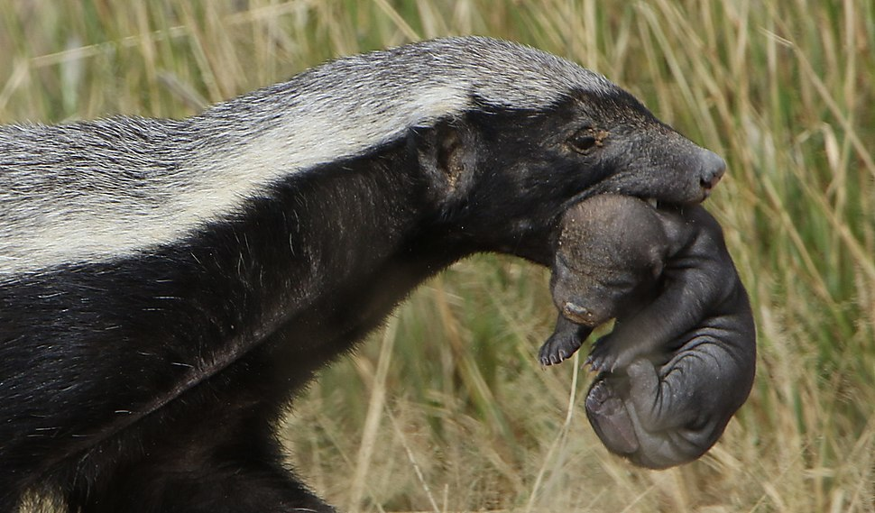 Honey badger, Mellivora capensis, carrying young pup in her mouth at Kgalagadi Transfrontier Park, Northern Cape, South Africa (34870371095)