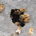 Honey bees and a wasp at the entrance to a hive, Sandy, Bedfordshire (9740989885).jpg