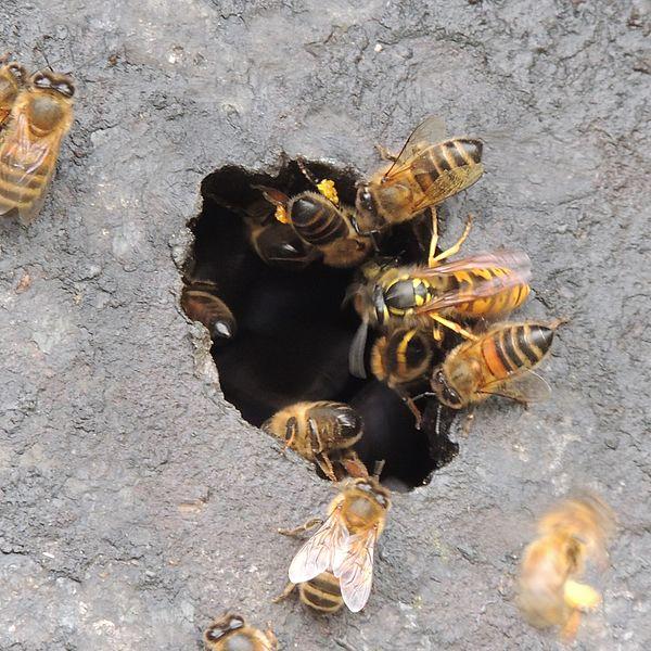 wie schnell fliegt eine wespe