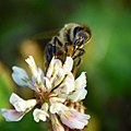 Honeybee on Clover 01.jpg