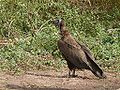 Hooded vulture.jpg