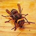 Hornet Vespa crabro (44541381572) (cropped).jpg