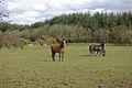Horses south of Dihewyd - geograph.org.uk - 739349.jpg